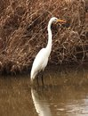 Free Great Egret Stock Photography - 27004502
