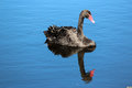 Free West Australian Black Swan On Blue Lake Royalty Free Stock Photography - 27006397