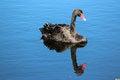 Free West Australian Black Swan On Blue Lake Royalty Free Stock Photography - 27006397