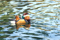 Free Mandarin Duck Royalty Free Stock Image - 27006646