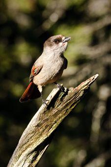 Free Siberian Jay On Tree Branch Stock Photo - 27000140