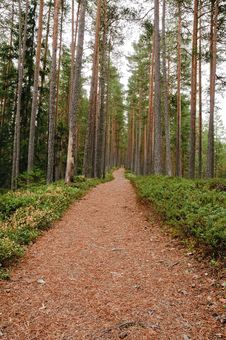 Free Pine Forest Royalty Free Stock Photos - 27000188