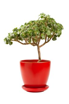 Free Jade Money Tree &x28;Crassula Ovata&x29; In Flowerpot Stock Image - 27000631