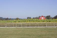 Free Sunflower Farm Stock Photography - 27002662