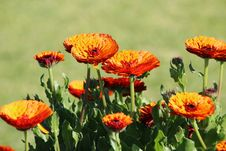 Free Orange Calendulas In The Garden Stock Photos - 27003693