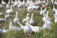 Free Herd Of White Domestic Geese Royalty Free Stock Image - 27005166
