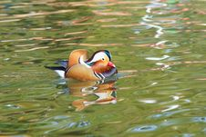 Free Mandarin Duck Stock Photo - 27006620