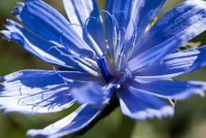 Free Magnificent Cornflower Stock Images - 27007394
