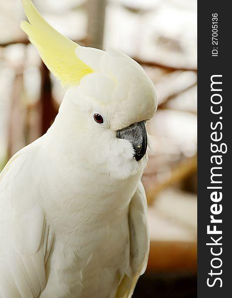 White Cockatoo.
