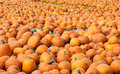 Free Pumpkin Patch Stock Images - 27016004