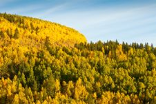 Free Mountain Of Aspen Trees In Autumn Royalty Free Stock Images - 27013749
