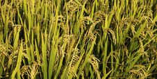 Free Rice Field Royalty Free Stock Photography - 27016547