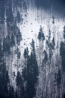 Free Coniferous Forest Royalty Free Stock Image - 27018276