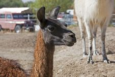 Free Portrait Of A Llama Stock Photography - 27018322