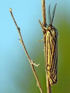 Free Striped Moth Stock Photography - 27020122