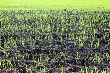 New Shoots Of A Winter Wheat