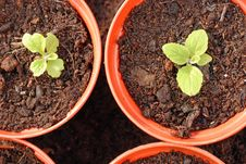 Free Foxglove Seedlings In Growing On For Next Year.. Stock Photography - 27020442