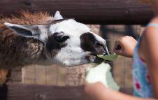 Free Llama, Feeding Time Stock Images - 27021094