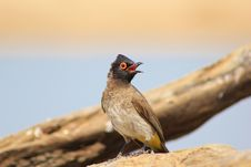 Free Faded Natural Colors - Red-eyed Bulbul Stock Images - 27023334