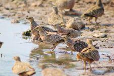Free Flock Of Feathers - Sandgrouse, Namaqua Royalty Free Stock Photography - 27023567