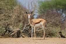 Free Springbuck - Lonely Lonesome Royalty Free Stock Photography - 27023817