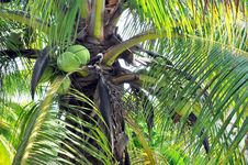 Free Closeup Of Coconut Palm Trees, Nuts & Bird Royalty Free Stock Image - 27024866