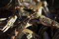 Free Crab Claws Stock Image - 27033901