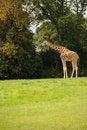 Free Giraffe Stock Photo - 27037790