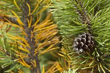 Free Pinecode On The Mugo Pine Stock Images - 27031104