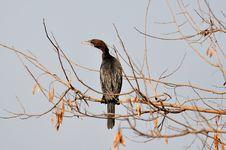 Free Cormorant Stock Photos - 27036253