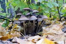 Free Forest Toadstools Coprinus Royalty Free Stock Images - 27038539
