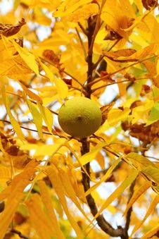 Free Walnut With Yellow Leaves Stock Photography - 27039732