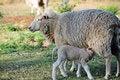 Free Mother Sheep With Newborn Baby Lamb Feeding Royalty Free Stock Image - 27048116