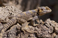Free Brown, Yellow And Blue Lizard On Volcanic Rocks Stock Images - 27049444