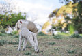 Free Baby Spring Merino Lamb On Australian Farm In Qld Stock Photos - 27049503