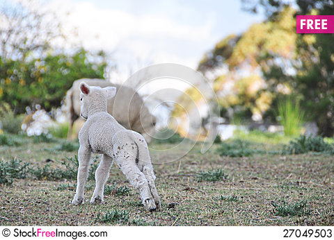 Free Baby Spring Merino Lamb On Australian Farm In Qld Stock Photos - 27049503