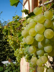 Free Grapes On A Vine Stock Photo - 27040360