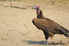 Free Vulture, Lappet-faced - African Grim Reaper Royalty Free Stock Images - 27041279