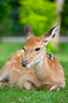 Free Sika Deer Sit On Green Grass Royalty Free Stock Images - 27042079