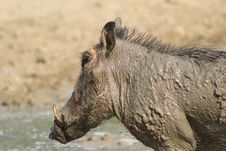 Warthog - Mud And Muck Royalty Free Stock Images