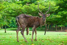 Sika Deer Royalty Free Stock Photos