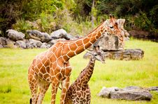 Free Two Giraffes Stock Images - 27042194