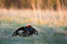 Free Lekking Black Grouse Royalty Free Stock Images - 27042469