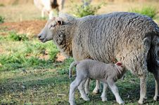 Free Mother Sheep With Newborn Baby Lamb Feeding Royalty Free Stock Image - 27048116