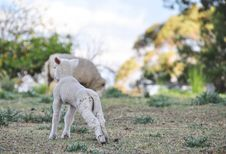 Baby Spring Merino Lamb On Australian Farm In Qld Stock Photos