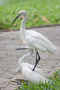 Free Two Herons. Royalty Free Stock Photos - 27052128