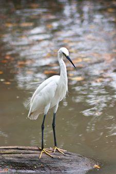 Free White Stork. Royalty Free Stock Photos - 27052098