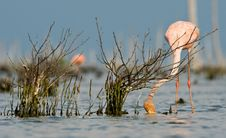 The Pink Caribbean Flamingo Feeding On Water. Royalty Free Stock Photos