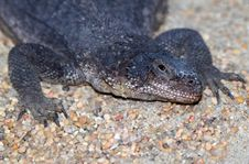 Free Spotted Chuckwalla Royalty Free Stock Image - 27059696