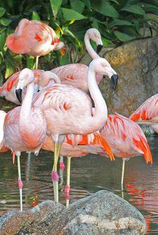 Free Flamingo Stock Photo - 27059720